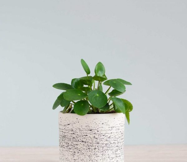 The Pilea Peperomioides is one of the easiest plants that is for sale